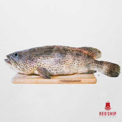 Red Ship Wild Brown Grouper